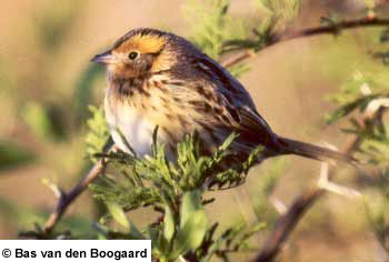 bird picture LeConte's Sparrow
