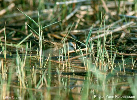 bird picture Little Crake