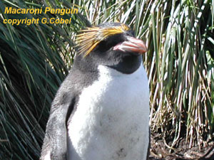 bird picture Macaroni Penguin