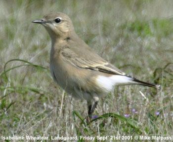 bird picture Isabelline Wheatear