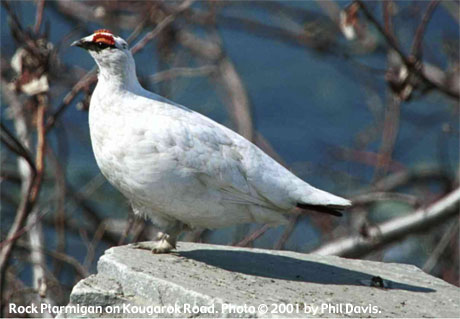 bird picture Rock Ptarmigan