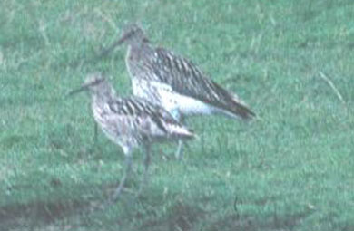 bird photo - Slender-billed Curlew