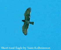 bird picture Short-toed Eagle