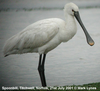 bird picture European Spoonbill