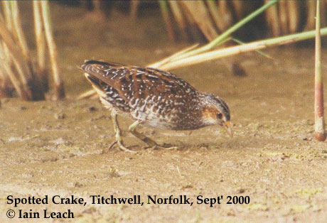 bird picture Spotted Crake