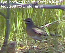 bird picture Eye-browed Thrush