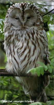 bird picture Ural Owl