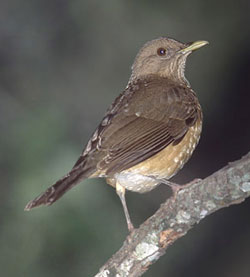 bird picture Clay-colored Robin