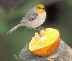 bird picture Verdin