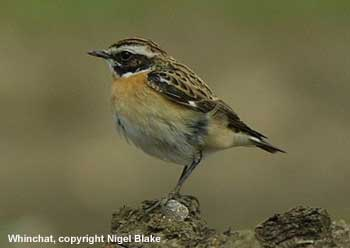 bird picture Whinchat