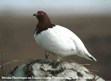 bird picture Willow Ptarmigan