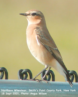 bird picture Northern Wheatear