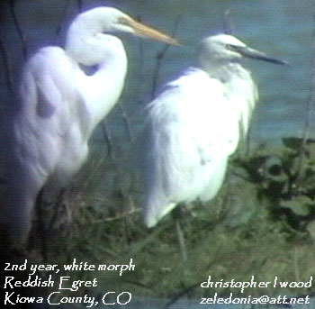 bird picture Reddish Egret and Great Egret