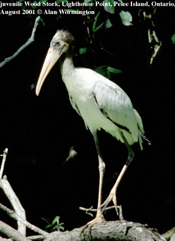 bird picture Wood Stork