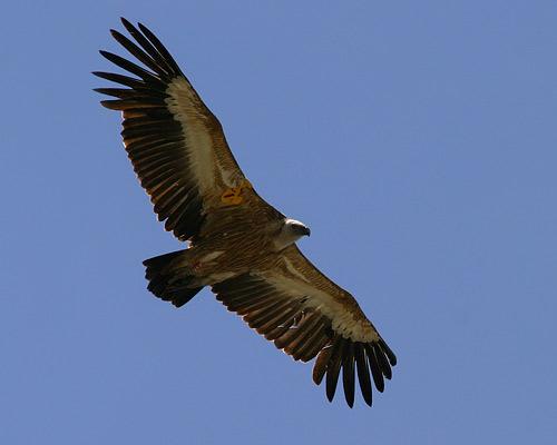 flying bird griffon vulture size