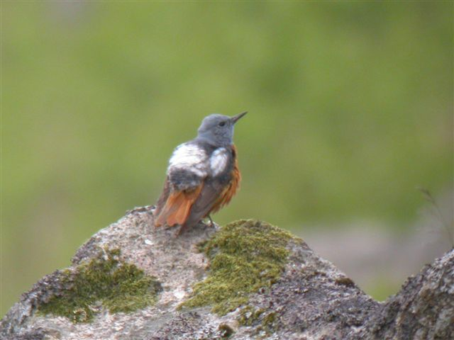 A male Rock Thrush in Devon on the afternoon and evening of the 25th left many disappointed birders the next morning. More reliable, but no less controversial was a drake Cinnamon Teal on the Outer Hebrides. The islands had the best of the birds in May with a Bufflehead on the Outer Hebrides, Upland Sandpiper in Shetland and Greater Yellowlegs in Northern Ireland. Good numbers of Red-rumped Swallows continued to be reported as well as a number of small parties of Bee-eaters.