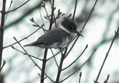 Belted Kingfisher on the 1st April. Surely an April fool. Not at all. First found in Staffordshire it was amazingly relocated in Aberdeenshire to the delight of thousands of birders who made the long trek north. An Amur Wagtail in County Durham would have been equally popular had it stayed. A Short-toed Treecreeper in Essex and a Great Spotted Cuckoo in Sussex offered compensation for south coast birders. Other rarities included a White's Thrush in Shetland and another Killdeer in Ireland.
