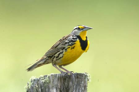 Eastern and Western Meadowlark