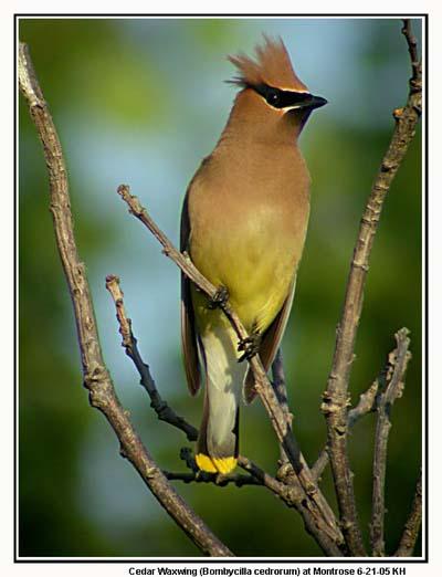 American robin kingbirds bluebirds and chickadees of north america cedar waxwing sciox Images