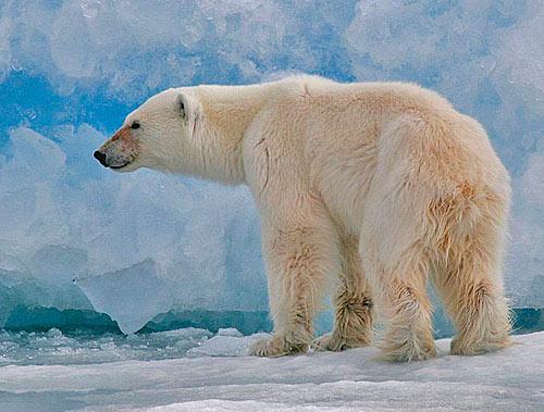 children will learn about threats to polar bears' habitat,