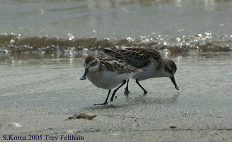 Spoon-billed Sandpiper