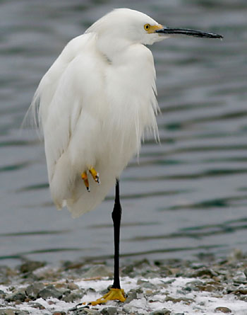 Black and white egret - photo#54