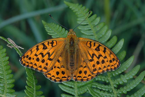 High-brown Fritillary