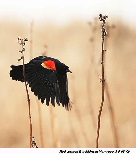 Black Bird With Orange Spots On Wings 3