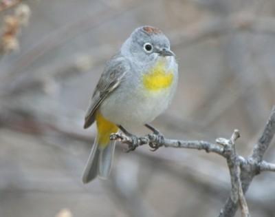 backyard bird identification warblers vireos