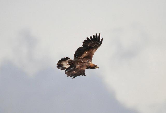golden eagle pictures. Golden eagle poisoned