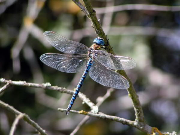Southern Migrant Hawker