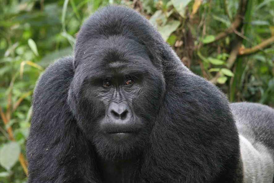 Gorilla Gunung