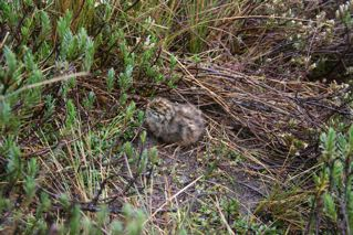 Snow Mountain Quail chick