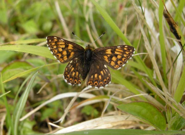 Duke of Burgundy