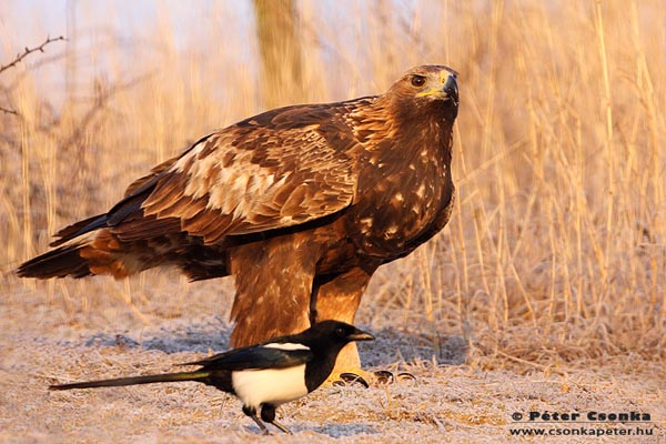 baby golden eagle pictures. Golden Eagle © Peter Csonka,