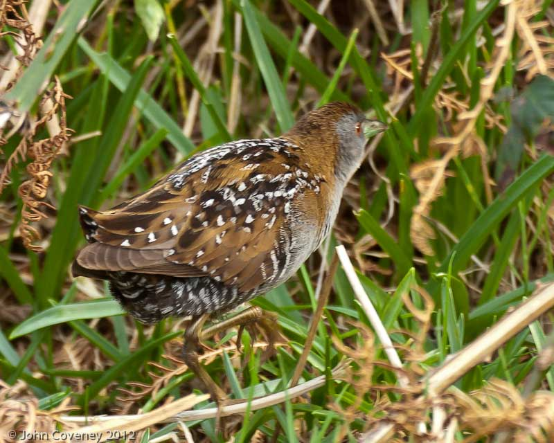 A stunning Baillon's Crake in Co. Wexford was, unsurprisingly, popular for Irish listers despite only staying a day. A Scops Owl on Scillies and a Short-toed Treecreeper in Kent (where else) stayed little longer. A Siberian Stonechat in Co. Wexford and a Red-flanked Bluetail in Co.Cork did hang around and left British birders reflecting on the luck of the Irish. By mid-month an influx of Night Herons had occurred into south-western counties heralding the arrival of Spring.