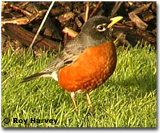 bird picture American Robin