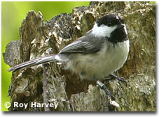 bird picture Black-capped Chickadee