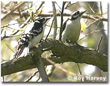 bird picture Downy Woodpecker