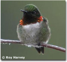 bird picture Ruby-throated Hummingbird