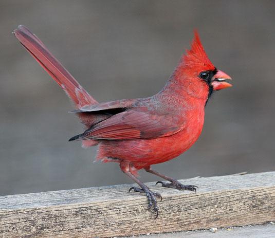 Backyard Bird Identification Blackbirds, Cardinal, Starling, Crows