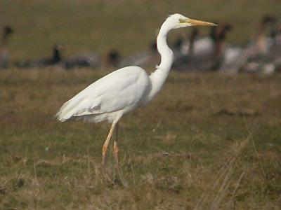 Backyard Bird Identification Egrets Herons Ibis