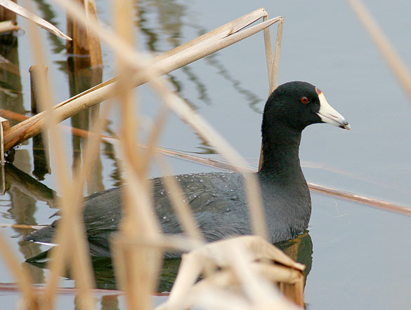 Backyard Bird Identification Moorhen Ducks Geese Grebes