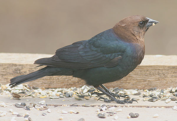 what bird has a brown head and black body